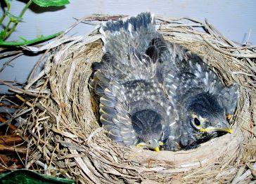 Baby Robins by my Front Door