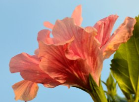 "It was fun finding new flowers and plants to ""focus"" on when we went to southern Florida in November. I discovered the wonderful world of Hibiscus."
