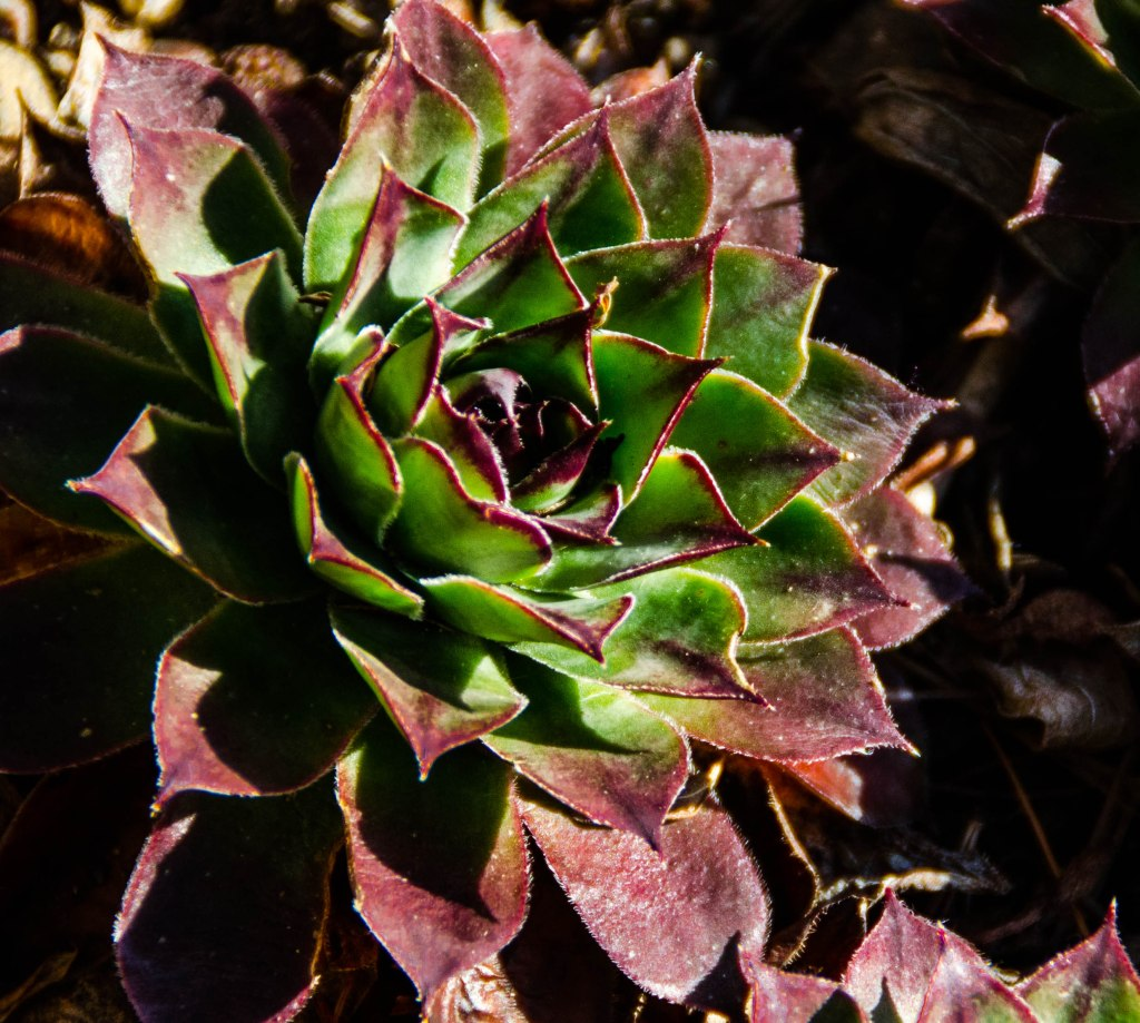 Hens & Chicks that thrive in all conditions.