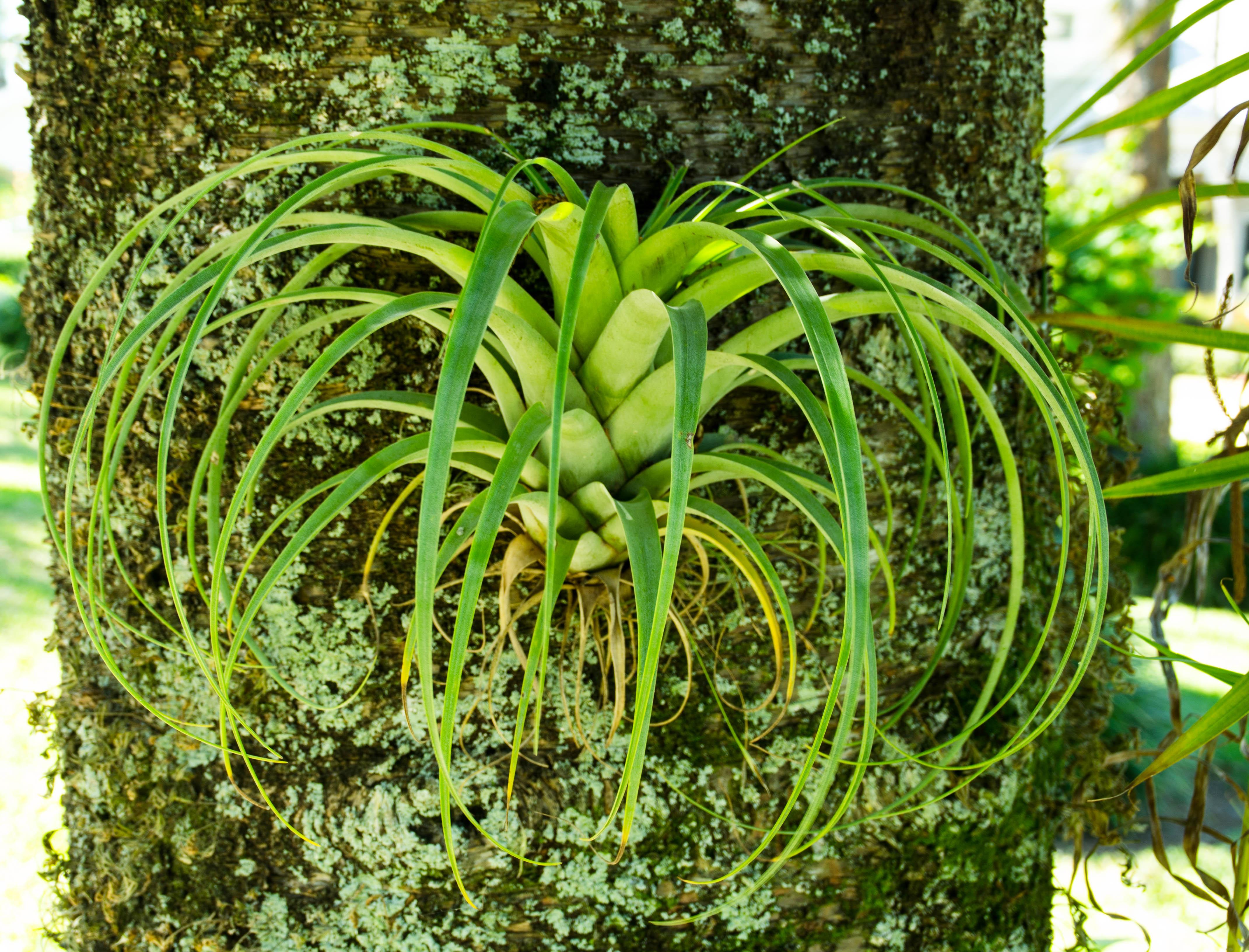 pine 014