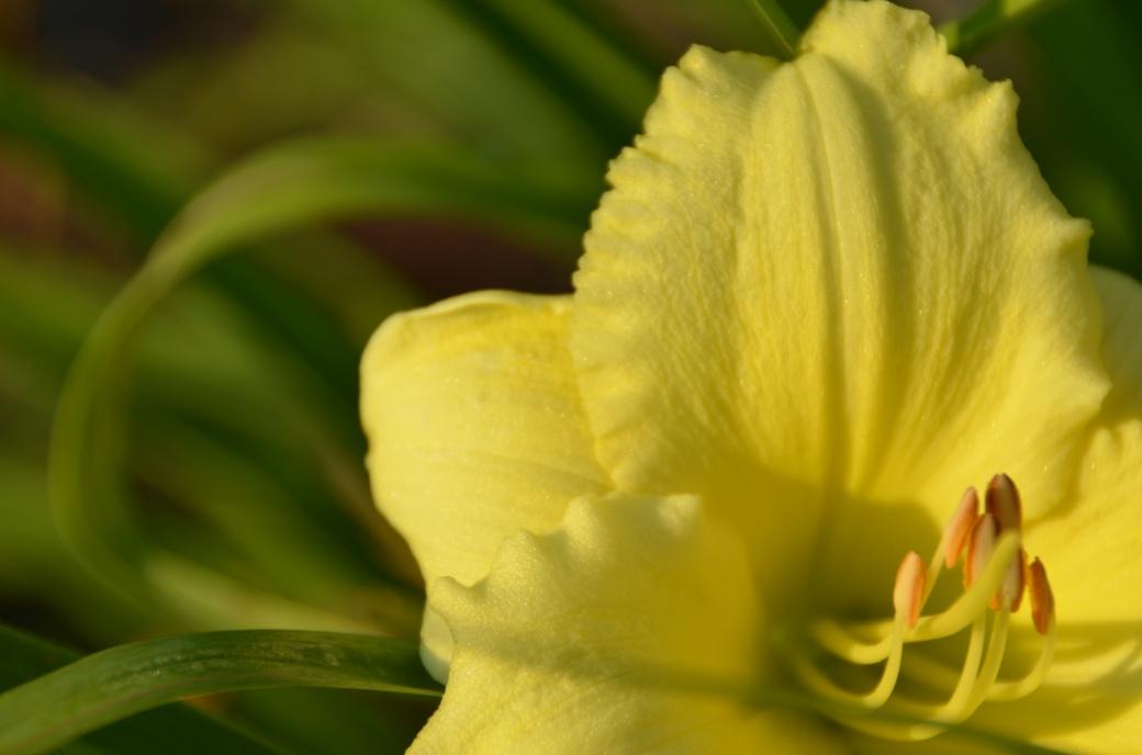 Lemony Lily