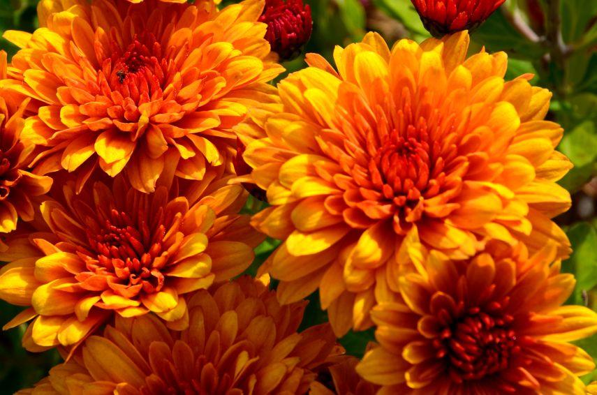 Mum (Chrysanthemum)