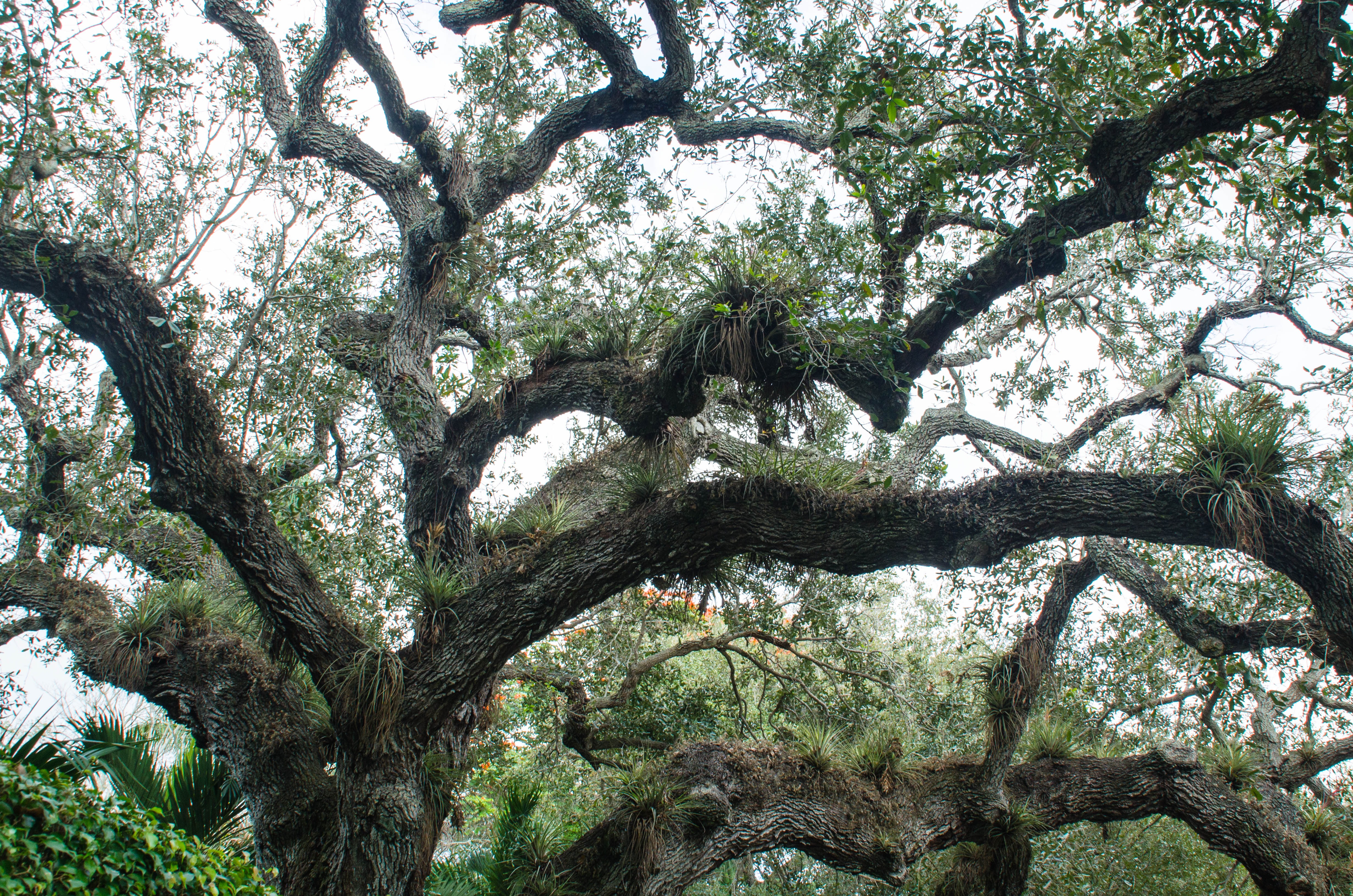 Looking up into old Live Oak in Florida