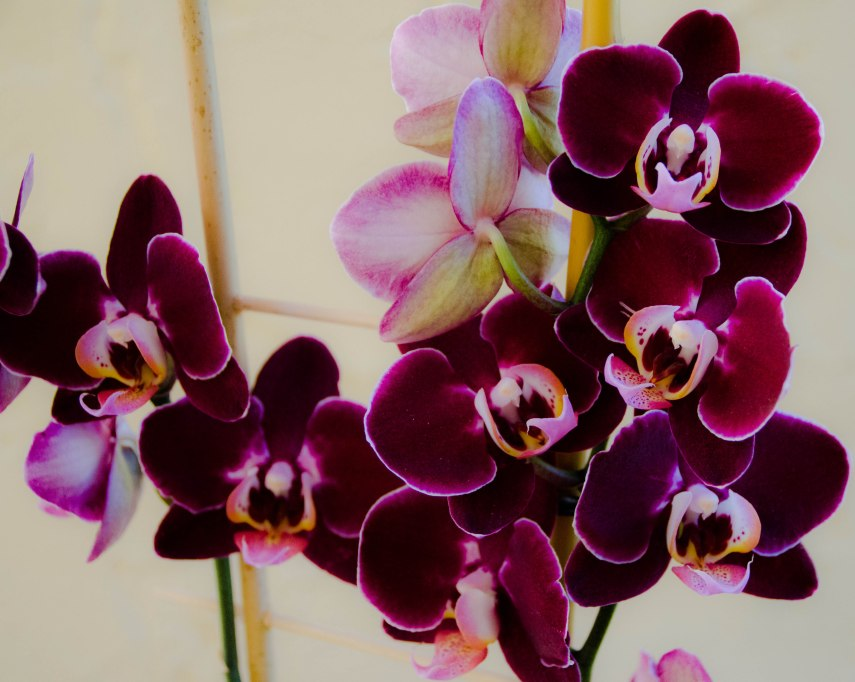orchid and amarylis 010