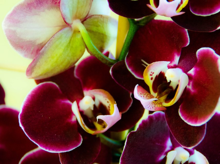 orchid and amarylis 011