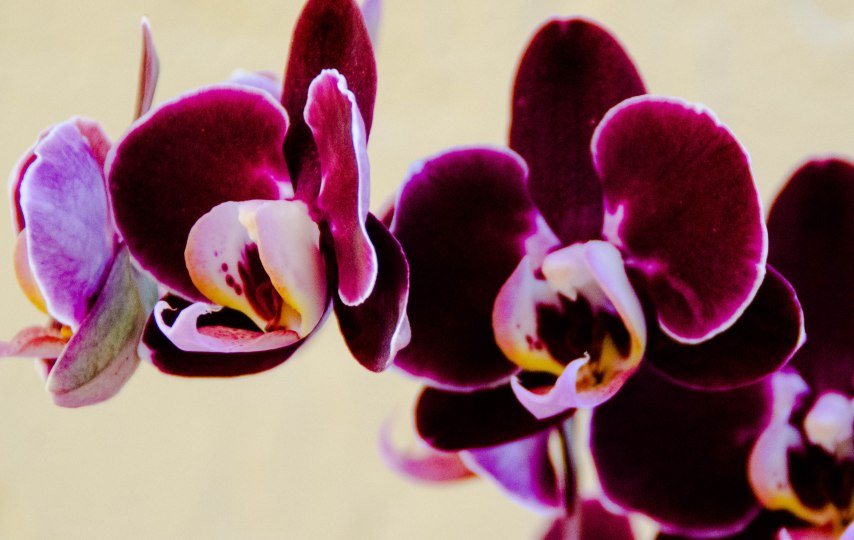 orchid and amarylis 024