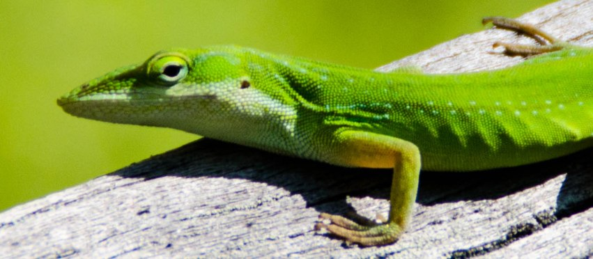 Green anole keeping an eye on what I was doing.