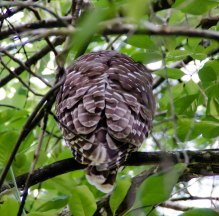 Barred owl asleep high in a tree.