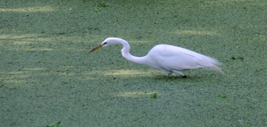 Egret looking for supper in a pond covered with algae.
