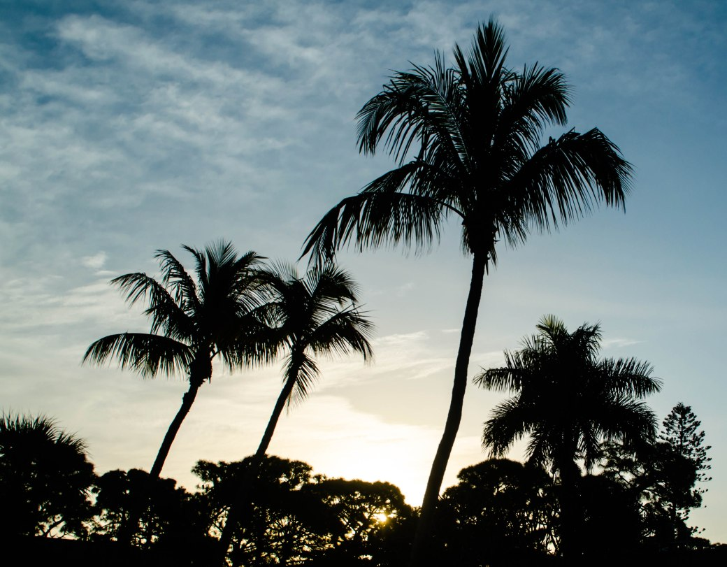 Morning light silhouetting the palms of Florida.