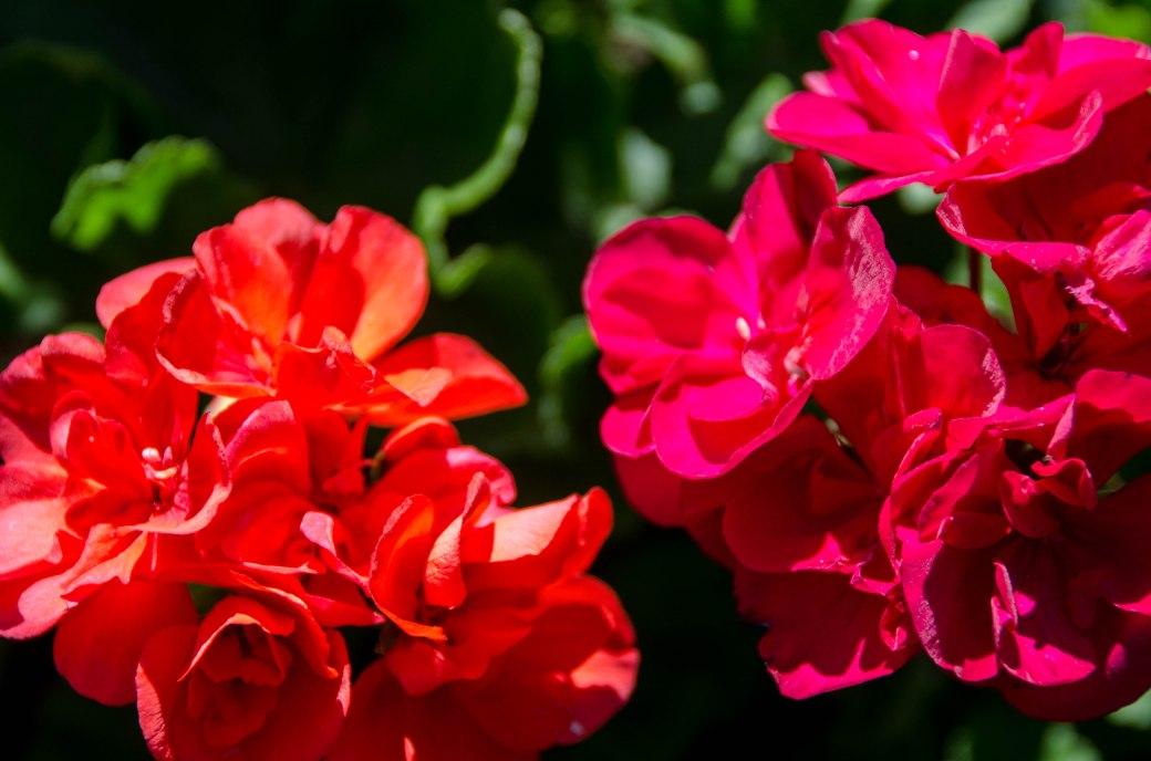 Newly planted geraniums.