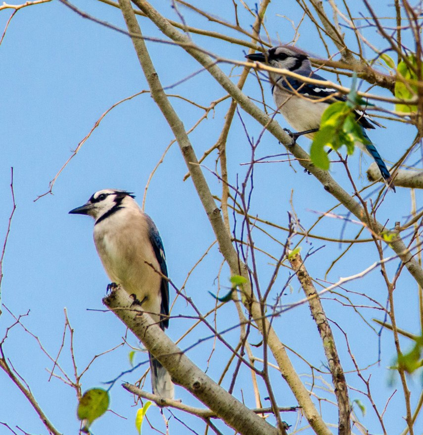 A couple of blue jays making a lot of racket.