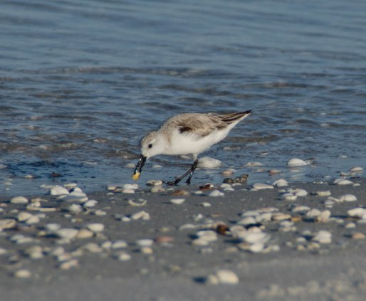sandpipers 073