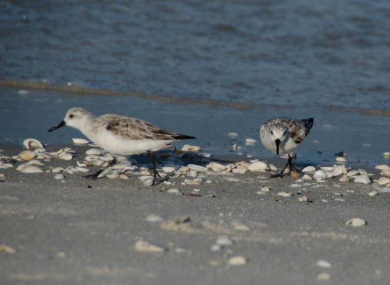 sandpipers 089