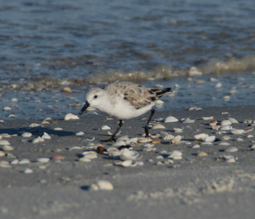 sandpipers 093