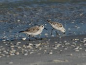 sandpipers 094