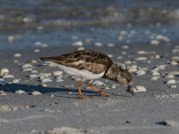 sandpipers 116