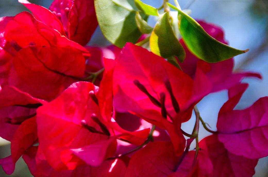 Bougainvillea blossoms