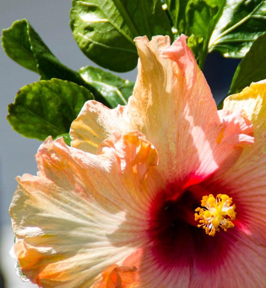 A lone, big, beautiful hibiscus bloom.
