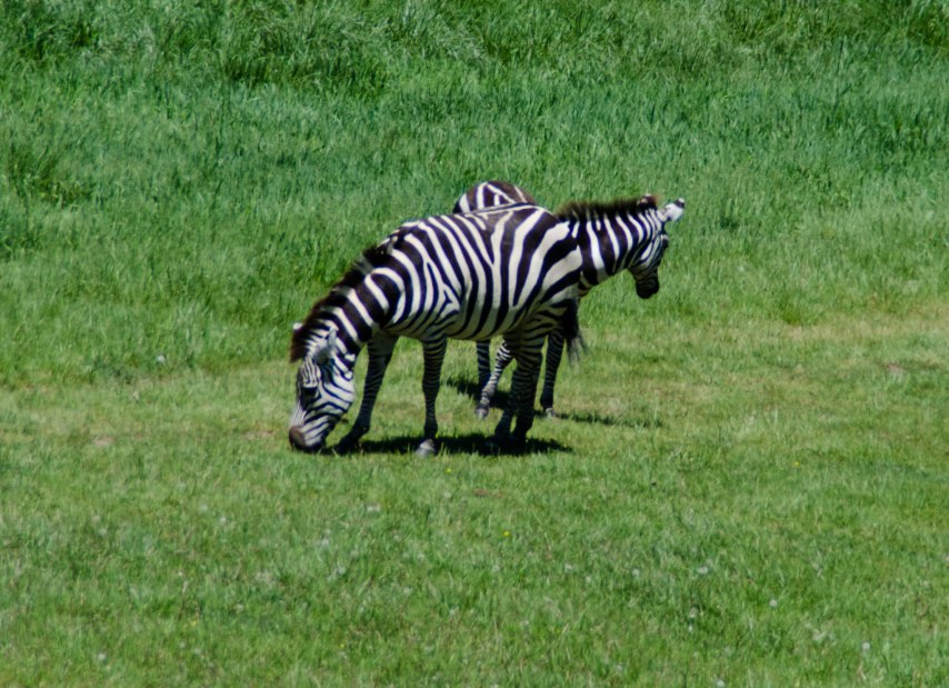 This two-headed zebra was blowing hot air out of both ends.