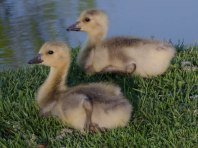 geese 030