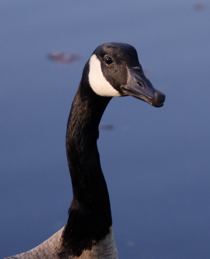 geese 050