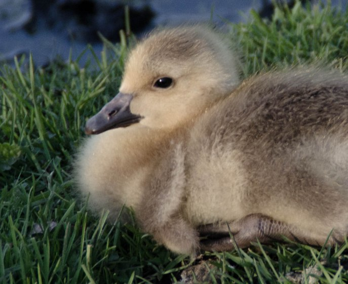 geese 061