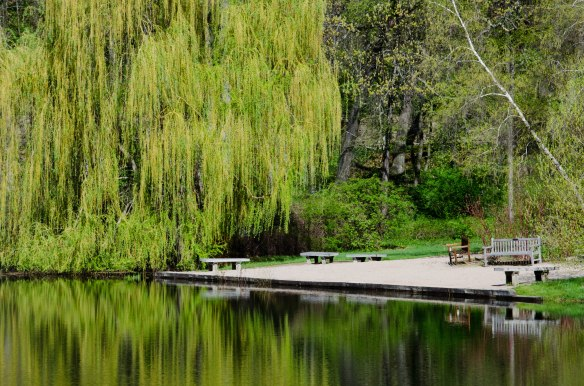 Bright yellow-green of the weeping willow across the lake.