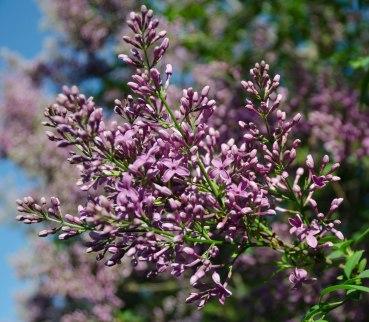 neighborhood lilacs 027