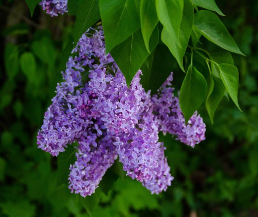 neighborhood lilacs 047