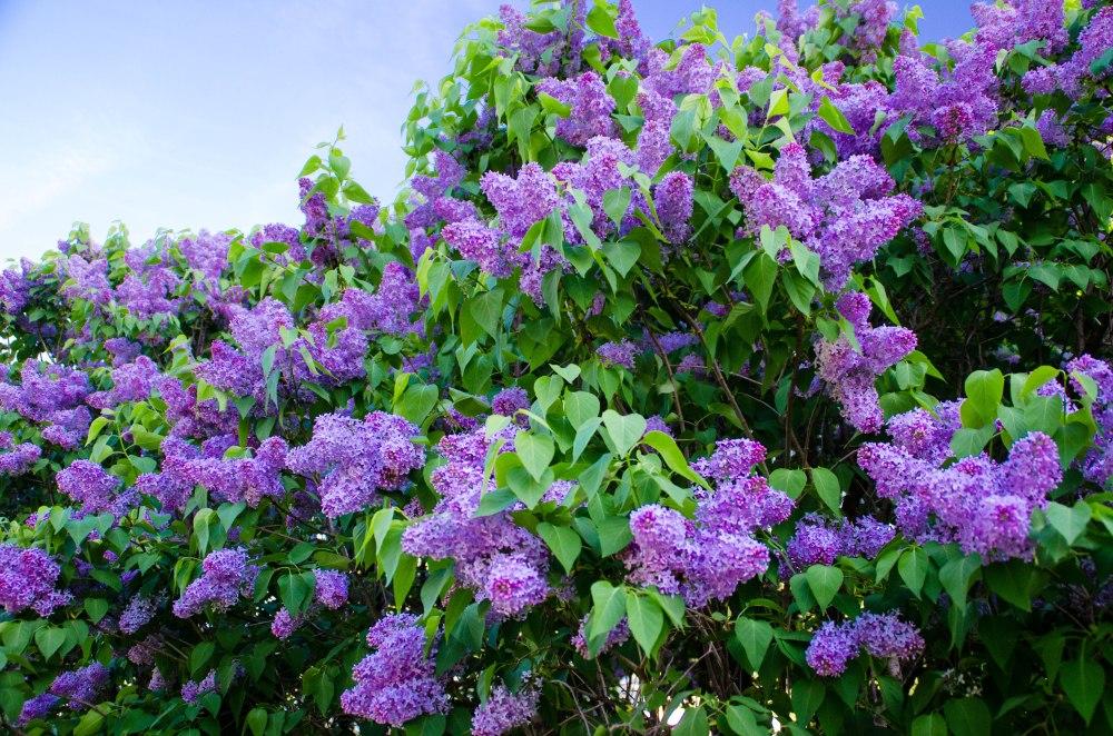 neighborhood lilacs 050