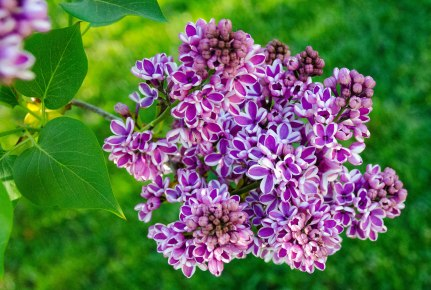 neighborhood lilacs 080