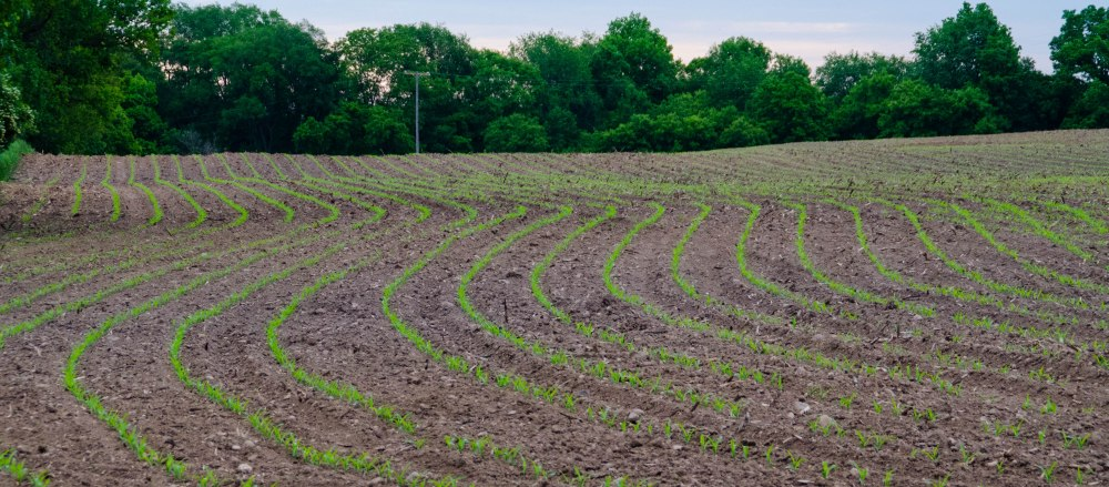 Corn field lined with trees.