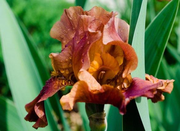 chocolate iris 022