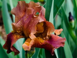 chocolate iris 024