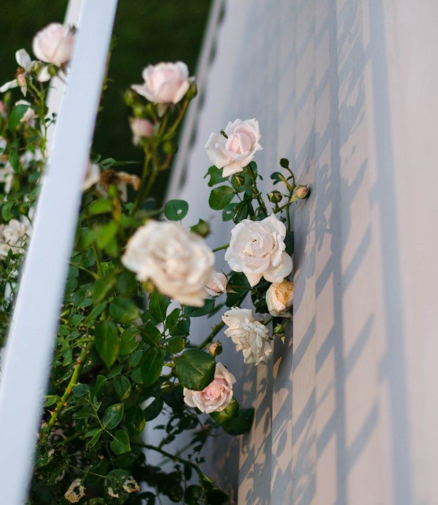 Good morning, New Dawn Rose.