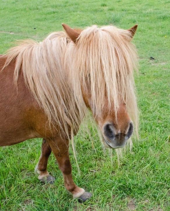 Pony (or miniature horse) at Puddingstone Farm