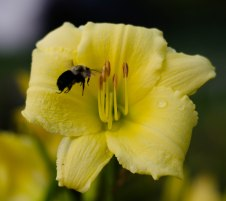 day lilies 008