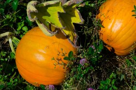 Pumpkins ripening in Washington