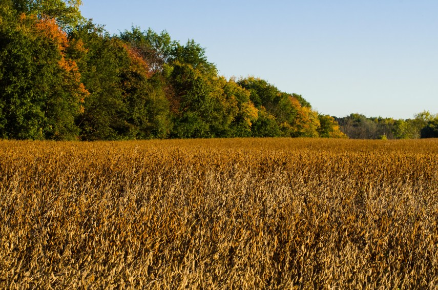 Evening sun turning soybeans golden.