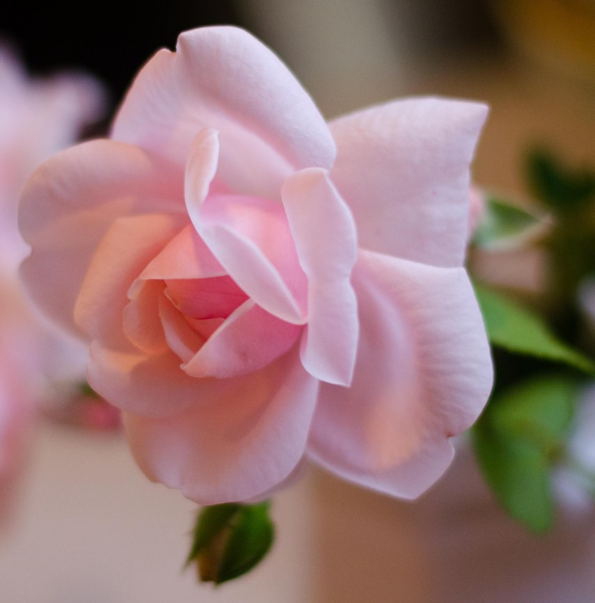 last rose 008