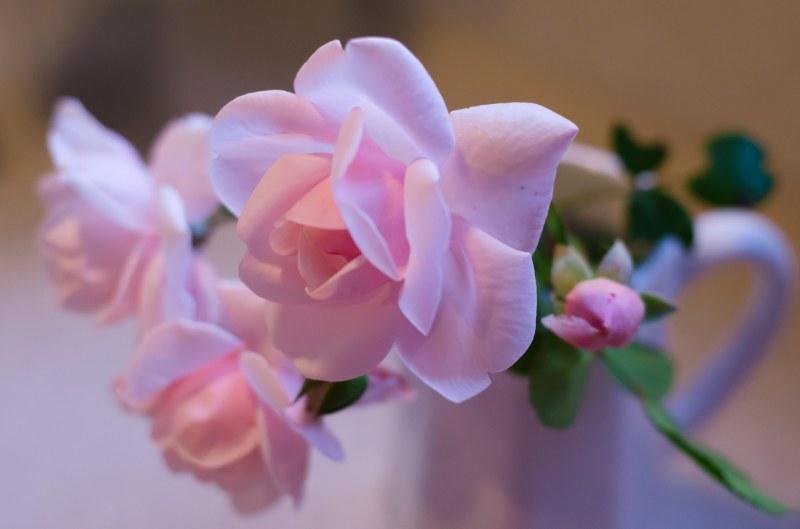 last rose 027