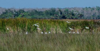 Flocks of birds gather in the grassland. These look like Snowy Egret.