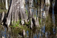 Cypress knees.