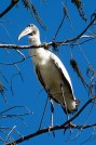 Wood Stork high in a tree along the one-lane dirt road.