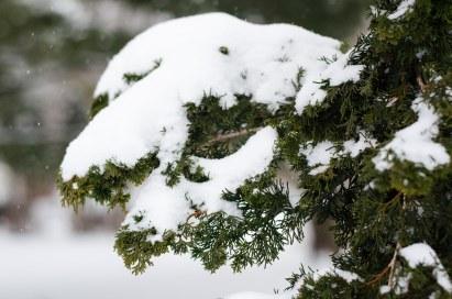 Snow on False Cyprus