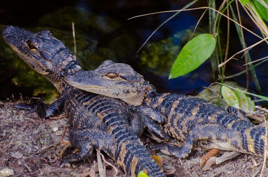 Everglades 013