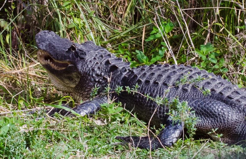 Everglades 093