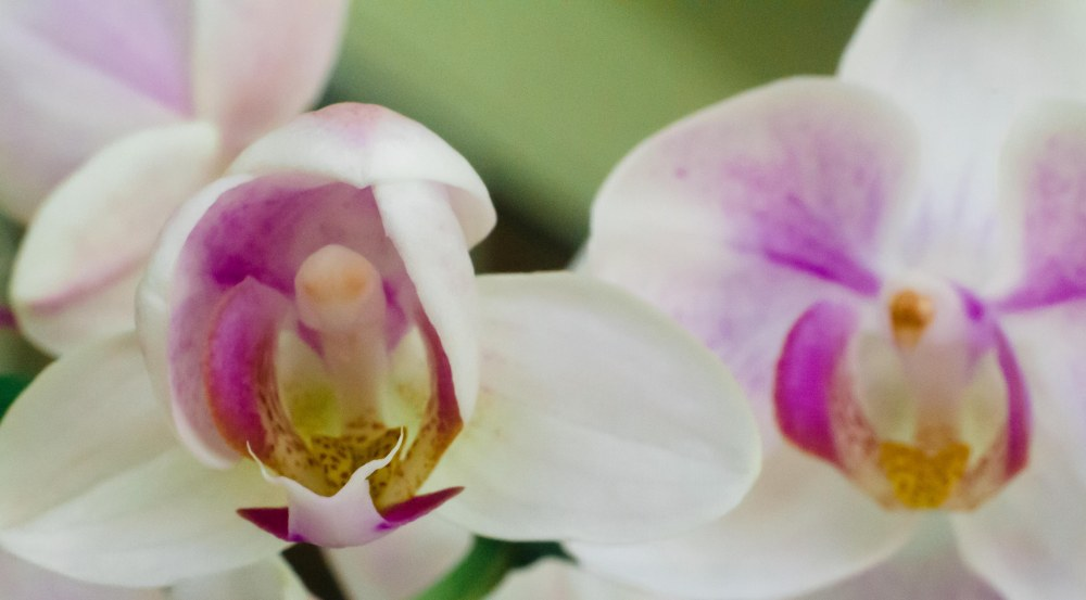 orchid 011