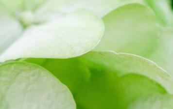 hidrangea 022